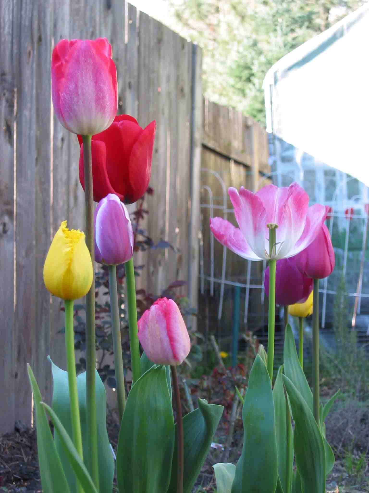 a literary analysis of tulips by plath The self in the world: the social context of sylvia plath's late poems  annas offers analysis of depersonalization in plath's poetry  contemporary literary.